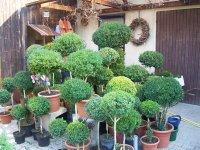 buchsbaum formschnitte buchsbaum firguren angebote und. Black Bedroom Furniture Sets. Home Design Ideas