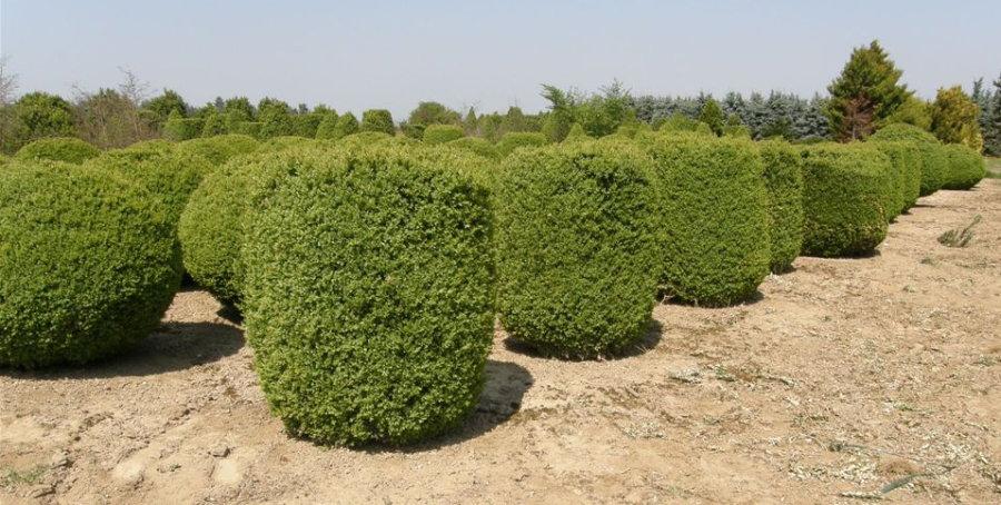 buchsbaum preise buchsbaums ulen bei. Black Bedroom Furniture Sets. Home Design Ideas
